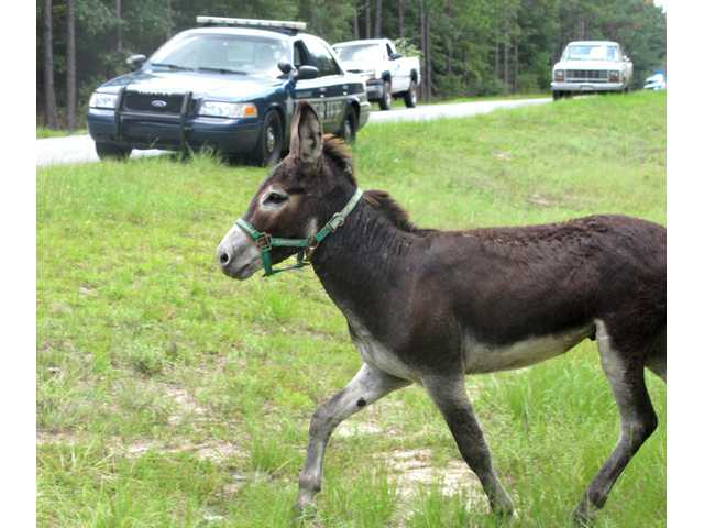 Deputies called out to corral donkey