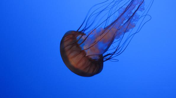 http://media.morristechnology.com/mediafilesvr/upload/connectsavannah/article/jellyfish1.jpg