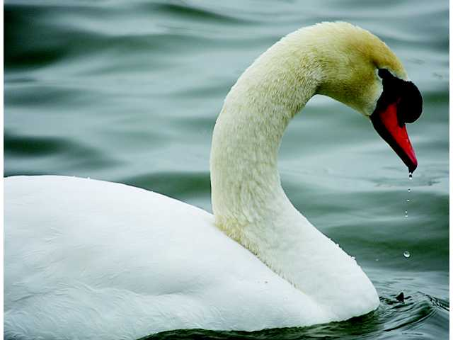 One swan a swimming