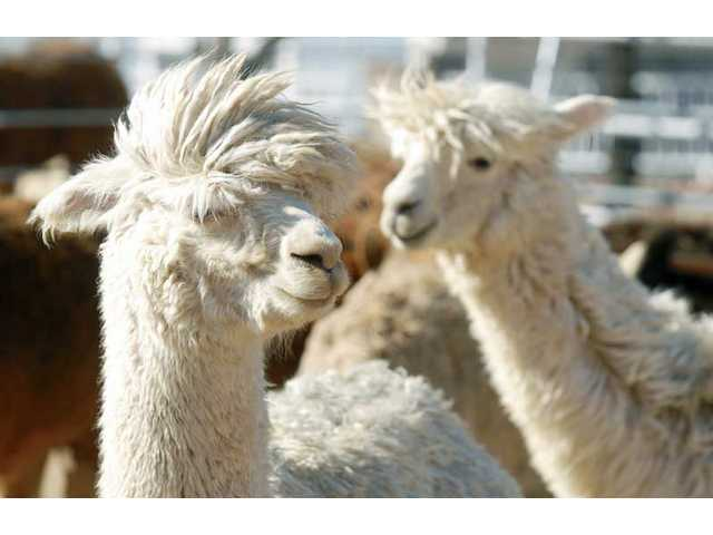 Our Valley: Alpacas thrive in Agua Dulce