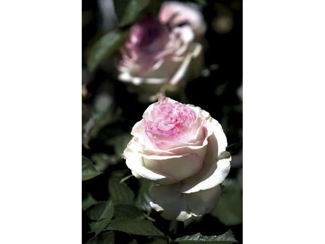 SCV Rose Society Rose Tour April 26 features two local homes where roses are part of the family