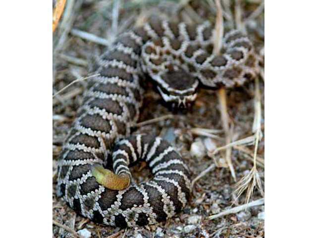 Rattlesnake shake: Summer safety in the Santa Clarita Valley