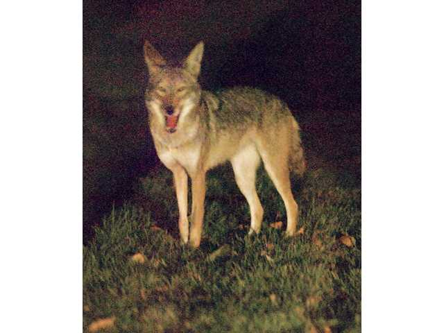 Natural predators an aspect of Santa Clarita Valley life
