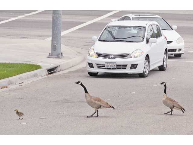 A Valencia goose chase