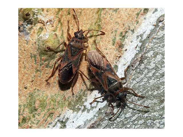 Swarming invasive insect found in US for 1st time