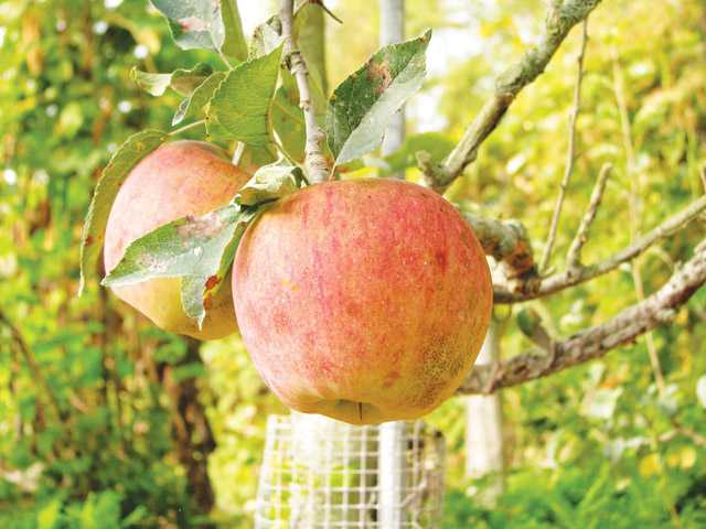 In the garden: Original Red Delicious is delicious