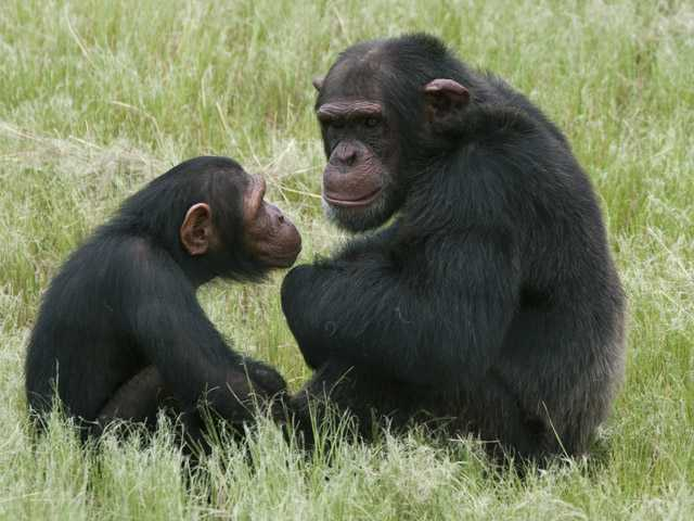Even apes have 'midlife crises,' study finds 
