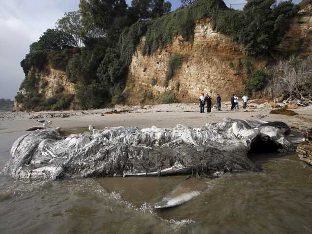 Rotting whale in Malibu likely left to nature