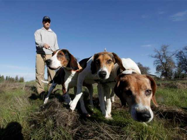 Calif. ban draws interest in using hounds to hunt