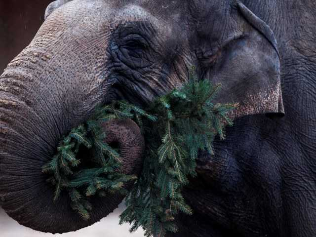 Berlin elephants feast on tasty Christmas trees