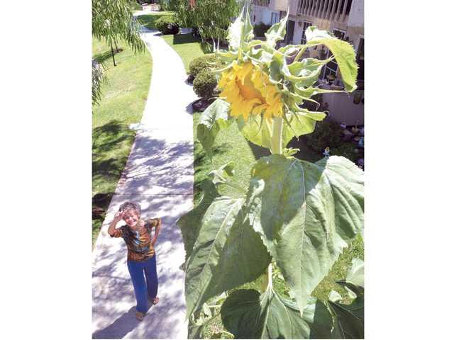 Valencia resident grows massive sunflower
