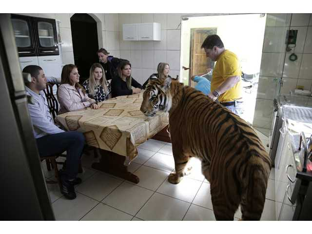 Brazil family fights to keep house-trained tigers