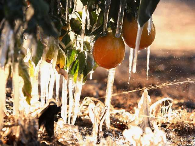 California citrus growers fight off cold spell