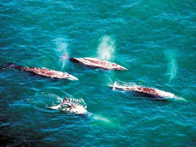 High number of gray whales counted off California