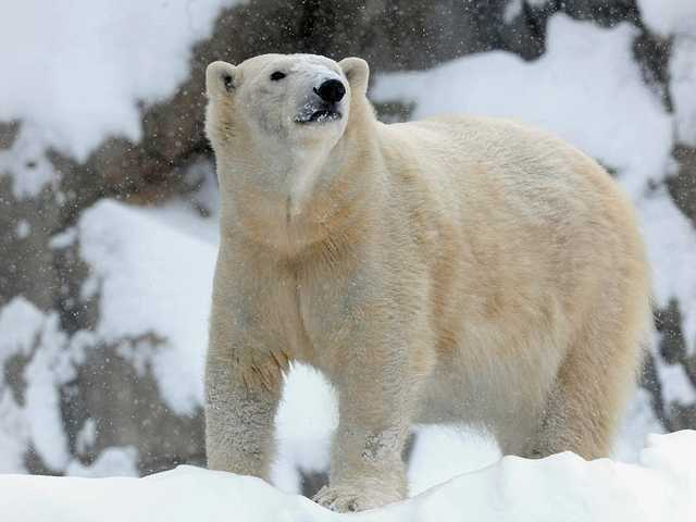 It's even too cold for polar bears in Chicago