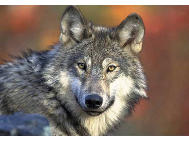 California delays decision on protecting gray wolf