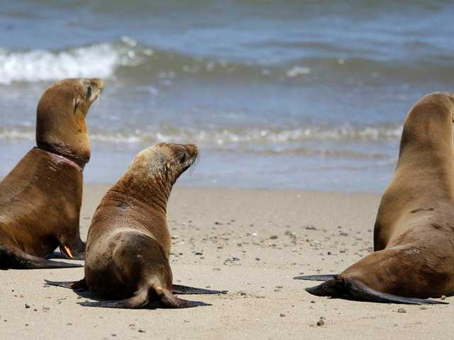 3 sea lions returned to wild