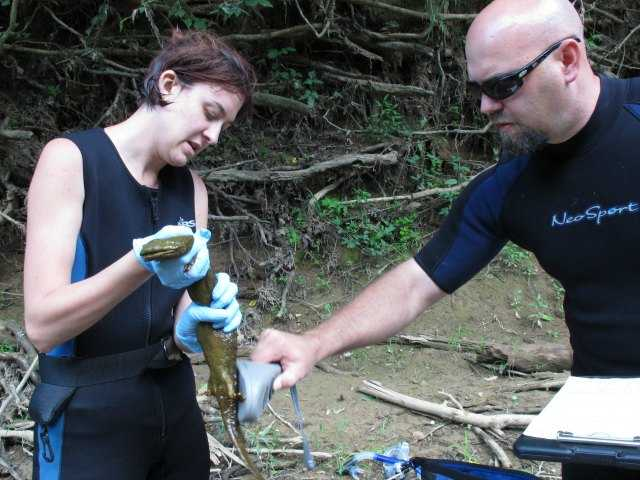 Researchers try to save huge US salamander