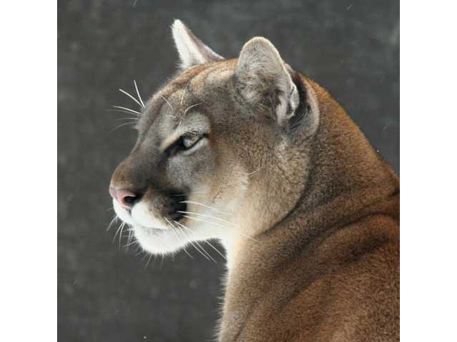 Mountain lion face - photo#35