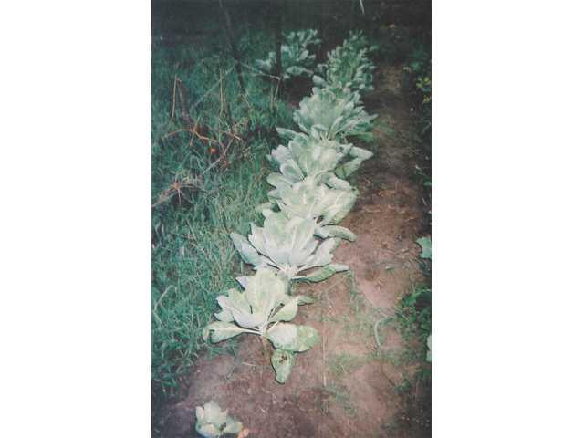 Man nurtures huge cabbage patch