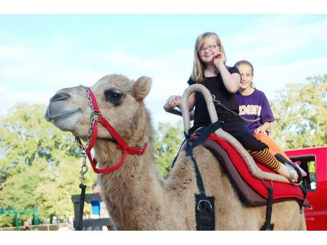 A reading camel