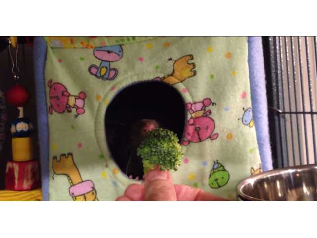 Have You Seen This? Pet rat adorably refuses broccoli