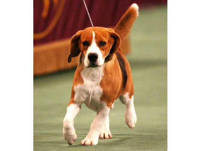 Echoes of Lugoff's Uno as beagle wins at Westminster