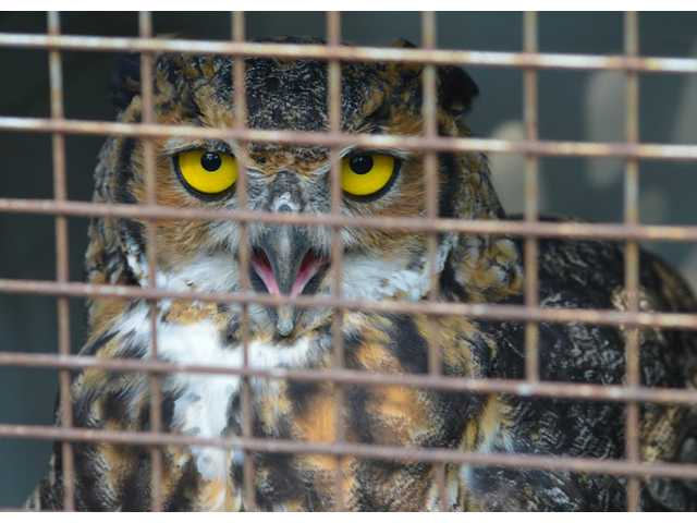 The Little Owlet grows into Great Horned raptor