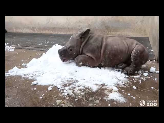 Have You Seen This? Baby rhino frolics in first snow