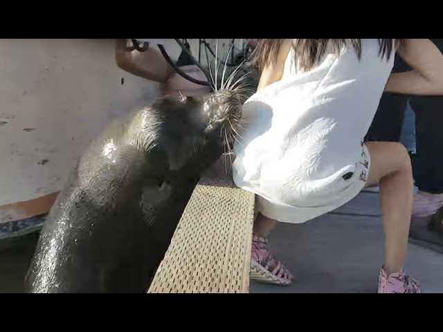 Video: Sea lion drags young girl into harbor