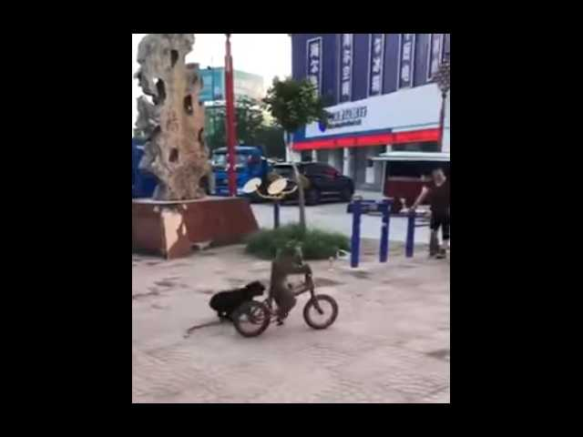 Have You Seen This? Dog chases bike-riding monkey