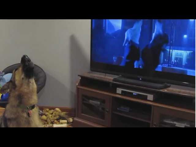 Have You Seen This? German shepherd loves 'Zootopia'