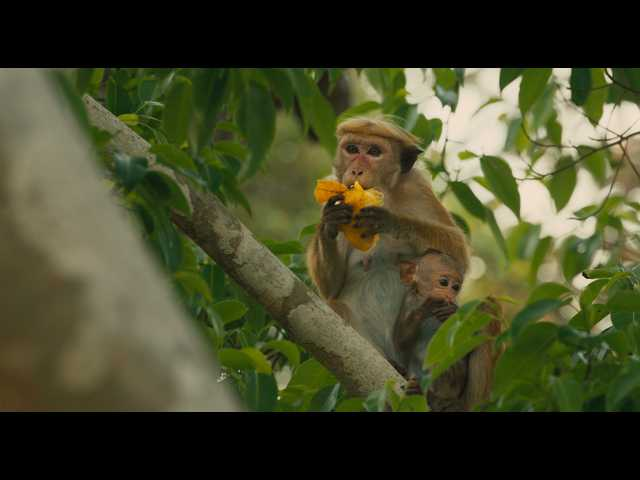 'Monkey Kingdom' is educational, entertaining and very funny