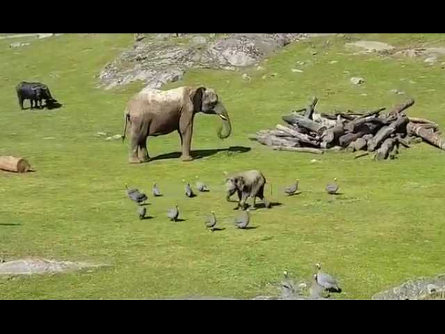 Have You Seen This? Baby elephant chasing birds is delightful