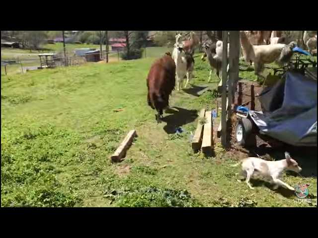 Have You Seen This? Herd of llamas chase tiny dog