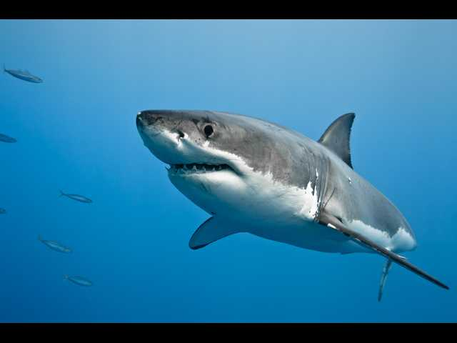 Have You Seen This? Biggest great white shark caught on film