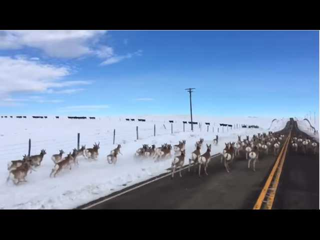 Have You Seen This? Dozens of pronghorn running down the highway