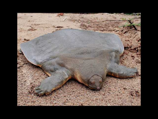 The Cantor softshell turtle (maybe)