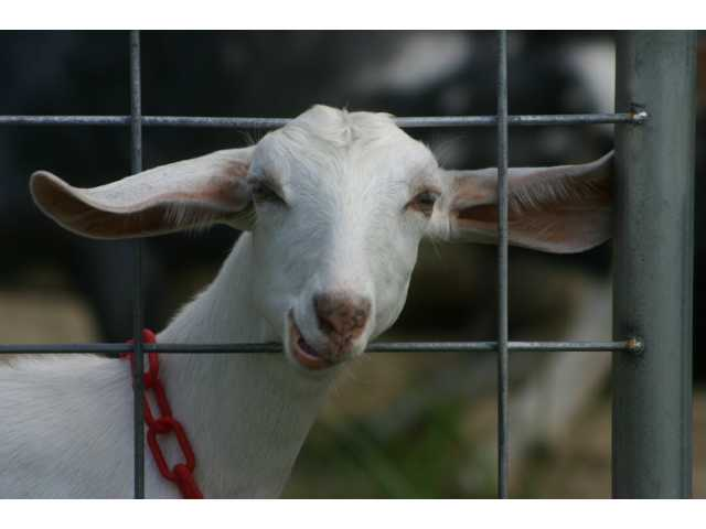 Each of the 135 Bootleg Farm goats has its own name.