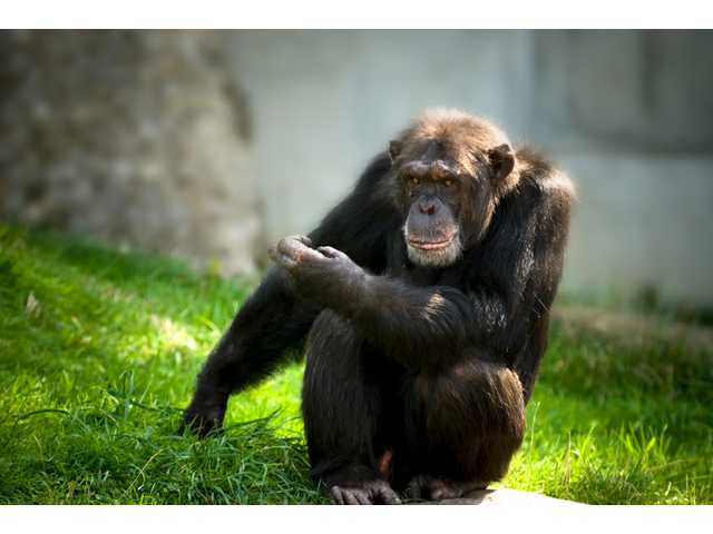 Planning takeout for dinner? So are these chimps