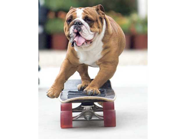 Local wonderdog Tank, shown on a skateboard, will be snowboarding on the Natural Balance pet food float at the Rose Parade today. Seven local high school musicians will march in the Parade.