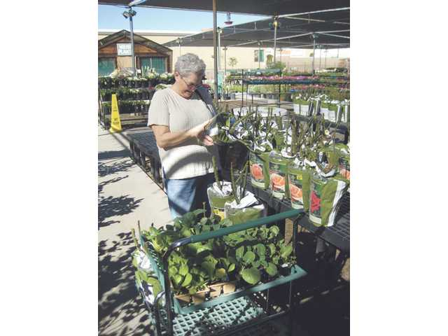 Merrilee Glick examines bare root roses at Green Thumb International in Newhall. Consulting rosarians will be on hand today to advise homeowners.