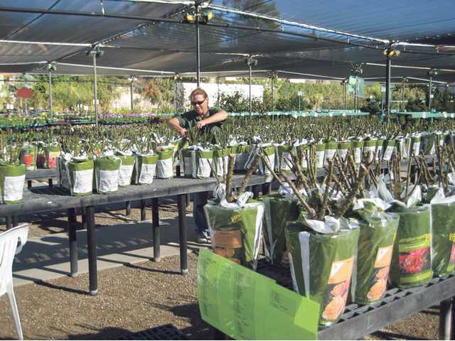 Melinda Butler trims bare root roses at Green Thumb International in Newhall. Just a few of the many types of Star Roses available during bare root season.