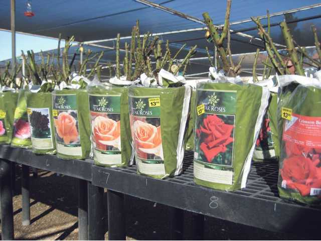 Many new varieties of roses arrive each year for rosarians to plant. Star Roses are priced $8.97 to $13.99 depending on the variety. Bare root roses should be fresh and No. 1 grade.