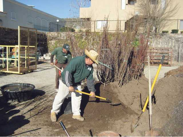 Workers at Green Thumb International in Newhall take bare root fruit trees and plant them in five-gallon pots. The bare root trees are stored in the soil to keep them alive and moist until they can be planted.