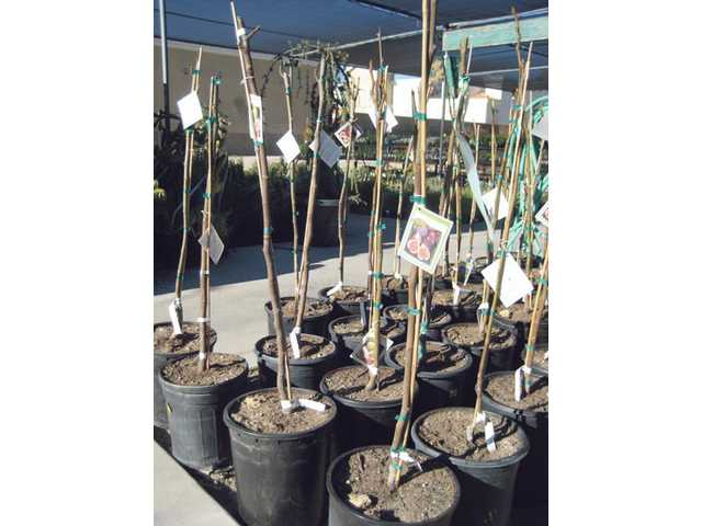 Bare root fruit trees await permanent homes.