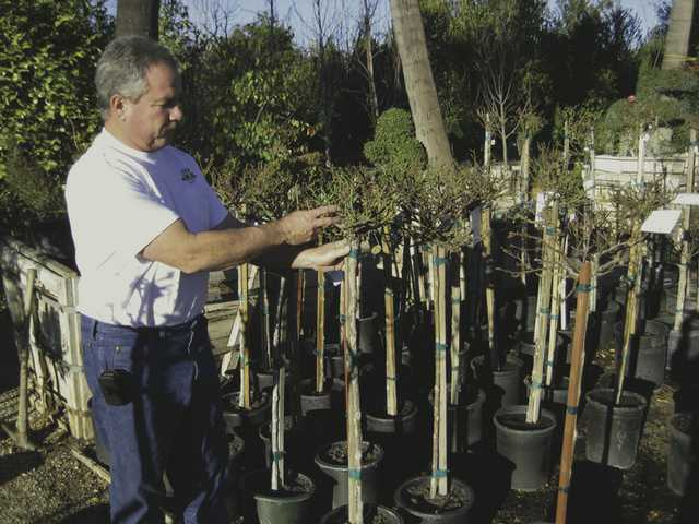 Richard Green of Green Landscape Nursery points to healthy cane growth on a tree rose. When buying tree roses look for plants where the trunk of the tree rose is straight and thick.