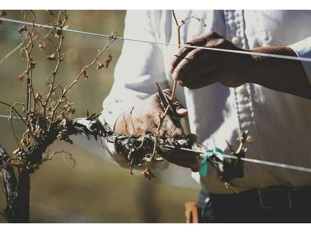 Washington prunes dead vines in his vineyard, a process that should be completed by early February. Maintaining a vineyard is a year-round effort.