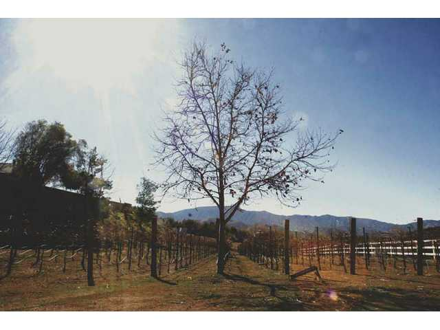 DiMaggio Washington's vineyard takes up an acre of his one and half acre property in Acton.