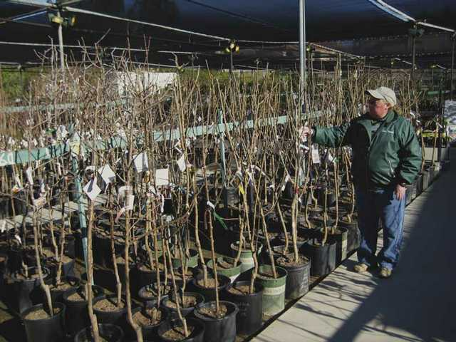Sandy Cudmore inspects the selection of potted bare root fruit trees at Green Thumb International in Newhall.